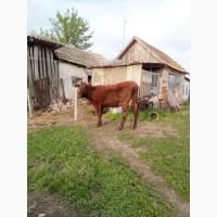 Срочно продаю молодую хорошую корову