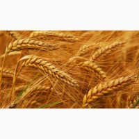 Купим ОПТОМ Пшеницу