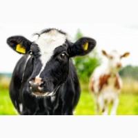 Мясокомбинат закупит говядину