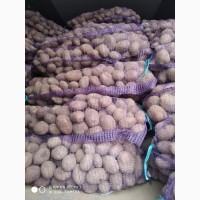 Продам посевной картофель Галла.С места 6, 10 грн.Киев.До 500 тонн.4+ калибр