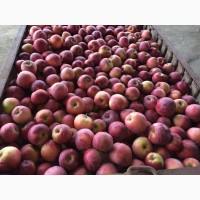 Куплю яблука оптом