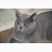 Голубые британские котята.