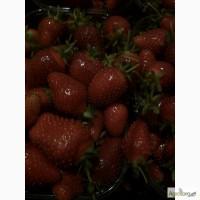 Продам клубнику оптом с поля от производителя в Киевской области