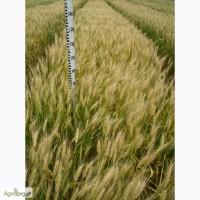 Семена пшеницы озимой - сорт Смуглянка. 1 репродукция
