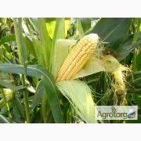 Семена кукуруза Днепровский 181, Оржиця, Солонянский 298, Моника 350, Любава 279