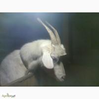 Продажа дойных коз и козлят