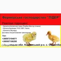 Підрощена птиця курчата бройлер, підрощені курчата