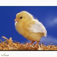 Цыплята суточные адлер серебристый, мироновская птицефабрика