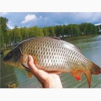 Продам живую рыбу- карп и белый амур, толстолобик. карась