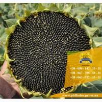 Семена подсолнечника / Насіння соняшника Гусляр