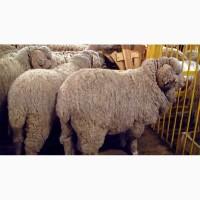 Купим овец меринос и романовские
