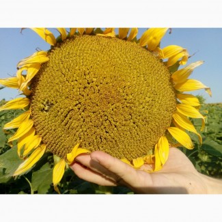 Семена подсолнечника Рембо (под Экспресс, Гранстар Про)