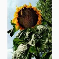 Продам насіння соняшнику іноземна селекція Франція LABOULEТ