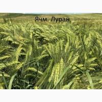 Семена озимого ячменя Луран 1-реп. (Чехия)