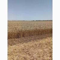 Семена озимой пшеницы Толедо (Канада)
