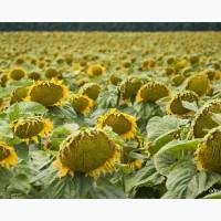 Семена подсолнечника НСХ-6044, кнез, златибор, фалькон, нсх26752, нсх1752, нсх195