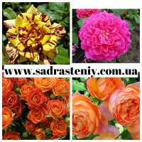 Продажа плодовых деревьев, плетистых и парковых роз оптом и в розницу