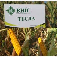 Насіння гібриду кукурудзи ВНІС ТЕСЛА (фао 350) 2020 року урожаю