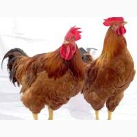 Ред-Бро. Цыплята бройлера. Индюшата. Утки