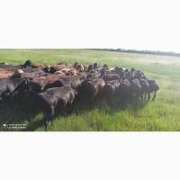 Продам баранов, Гессарские мясные, племенные