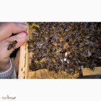 Пчеломатки карпатка 2017