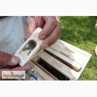 Пчеломатки, бджоломатки карпатка 2017. Пчелиные плодные ( меченые) матки