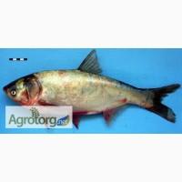 Куплю без посредников оптом речную и ставковую рыбу