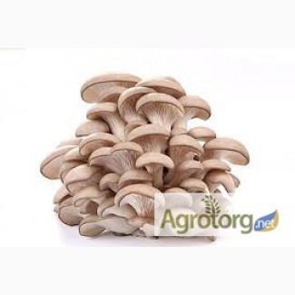 Продаем оптом свежие грибы вешенки от производителя