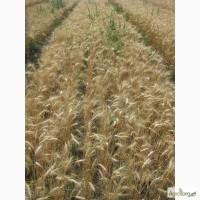 Семена пшеницы озимой - сорт Солнышко. 1 репродукция