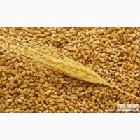 Покупаем пшеницу 2-3 клас