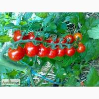 Продам семена помидора Черри