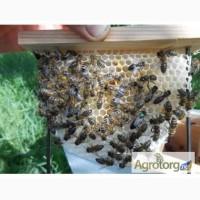 Бджолопакети і матки Карпатка, Карніка