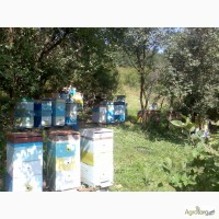 Продам пчелосемьи, отводки, Змиев