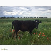 Продам корову, глибокотільну телицю, теличку
