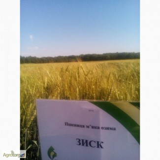 Пшеница озимая Зиск