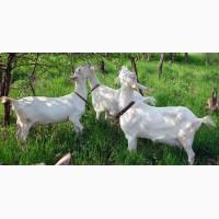 Продаємо безрогіх зааненських кіз та козла