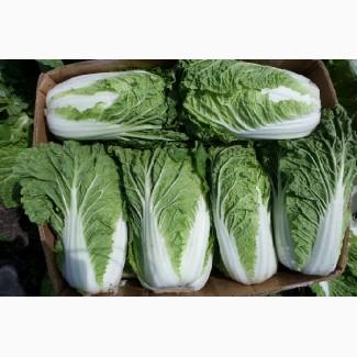 Продажа пекинской капусты оптом