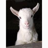 Продам козлят зааненской породы