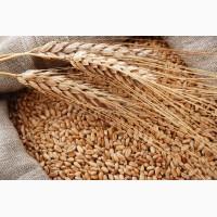 Куплю пшеницу 2, 3 фураж