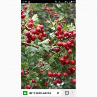 Закупаем сухие ягодыбоярышника, цвет с листом боярышника.самовывоз от 1 т
