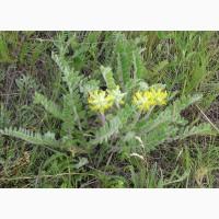 Астрагал шерстистоцветковый (трава) 50 грамм