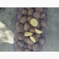 Реализуем картофель сорт Королева Анна