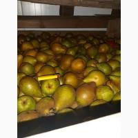 Продам грушу Яблунивская оптом