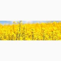 Закупівля насіння соняшнику, олійні