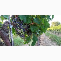 Продам Виноград, Каберне-Совиньон