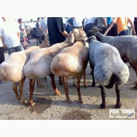 Продам овец, баранов гиссарской породы + на мясо