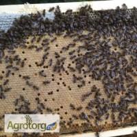 Бджоломатки. Української степової породи бджіл