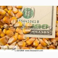 Закупаем любую кукурузу по Украине