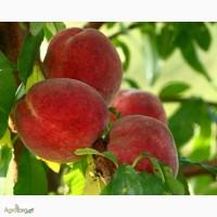 Продам персик сорт Редхевен