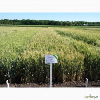 Пшеница озимая Гурт